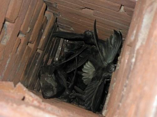 Скопление птиц в шахте дымохода